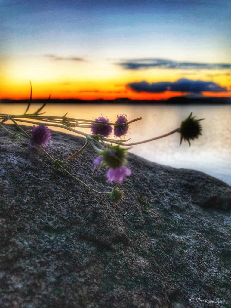 Lilla blomster i solnedgang.