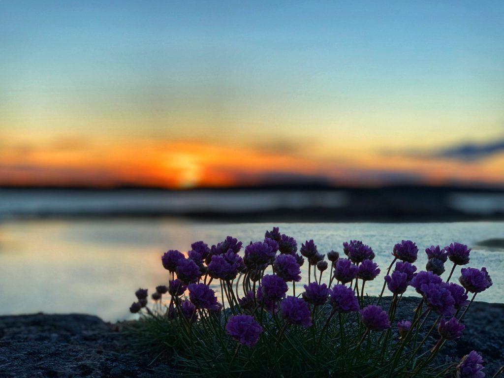 Lilla blomster ved vann i solnedgang.