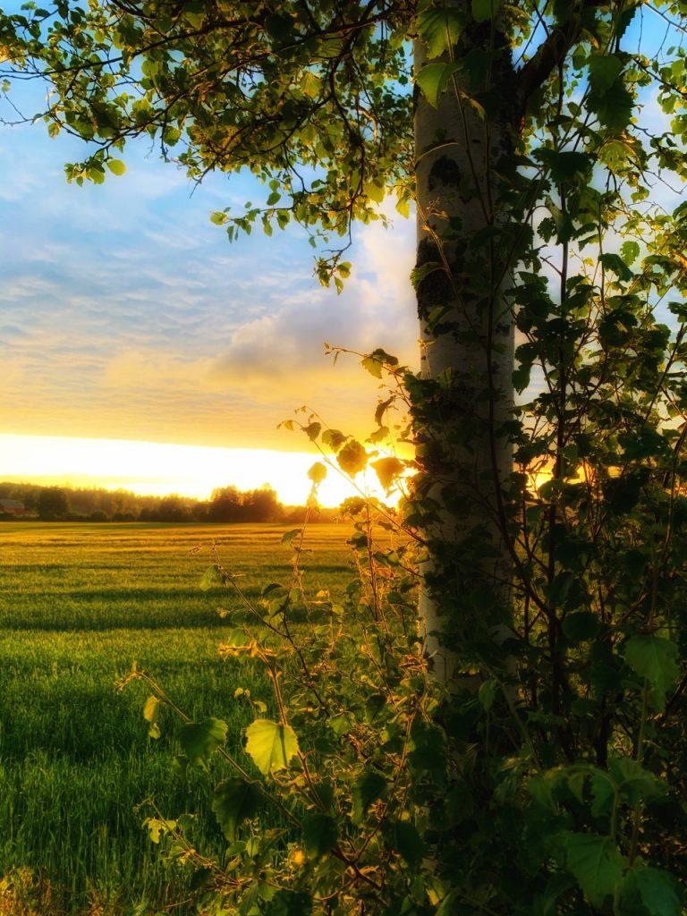 Bjørketre ved åker i solnedgang.