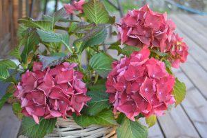 Blomster i dyp rosafarge, grønne blader
