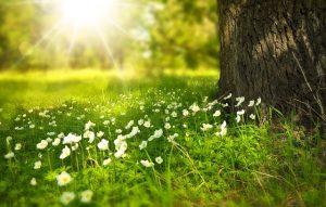 Grønn mark med hvite vårblomster, solen skinner over blomstene