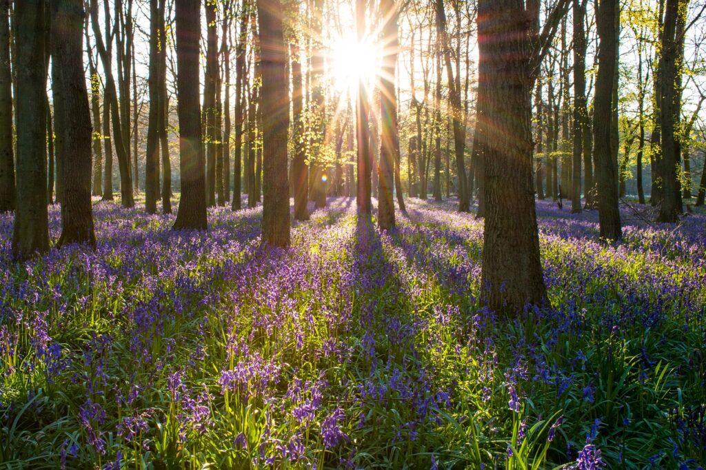 Grønt gress med masse blåklokker innimellom høye trær. Solen skinner mellom trærne